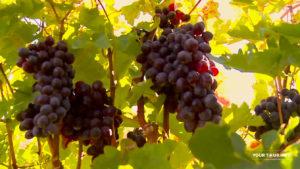 Grape, Ararat Valley.