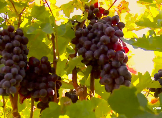 Grape, Aarat Valley.