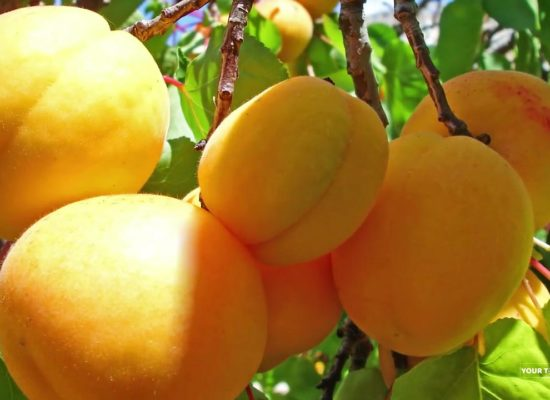 Apricots, Prunus Armeniaca, Ararat Valley.