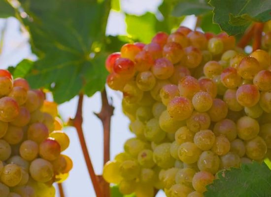 Grape, Ararat Valley.