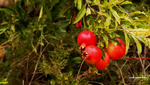 Pomegranate, Garni.