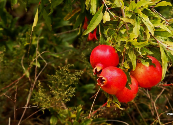 Pomegranate, Garni.