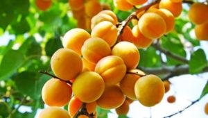 Prunus Armeniaca, Apricots.