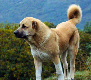 Armenian Gampr, Guardian Dog native to the Armenian Highlands.