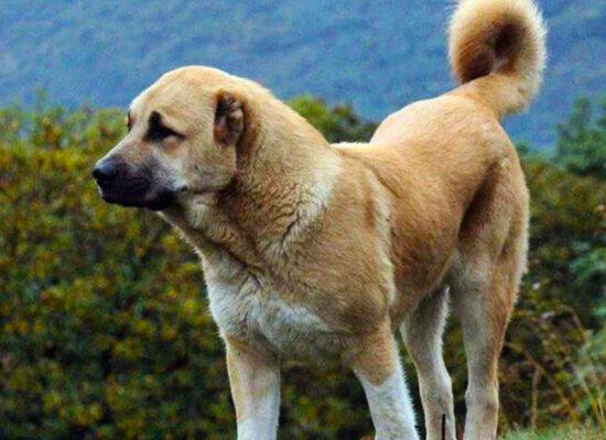Armenian Gampr, Guardian Dog native to the Armenian Highlands