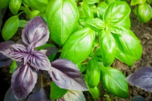 Basil green and purple