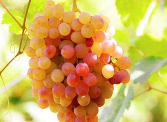Grape, Ararat Valley