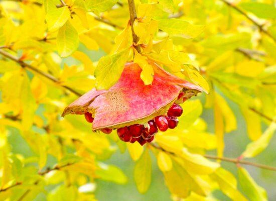 Pomegranate, Meghri Province