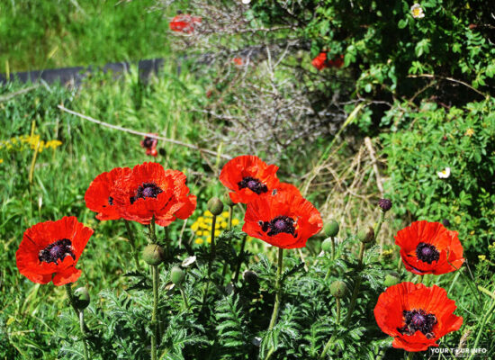 Poppies, Ararat Province