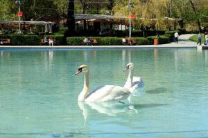 Swans, Swan Lake, Opera House