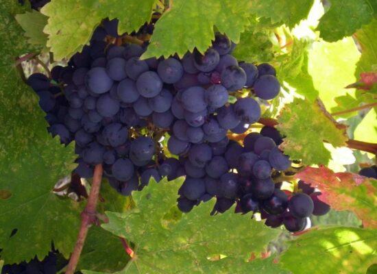italian grape