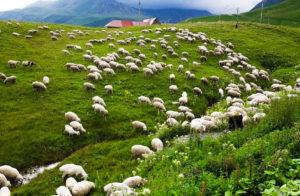 Sheep sharing Armenia Festival